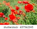 wild poppies blooming in the... | Shutterstock . vector #657562345