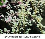 ornamental plants | Shutterstock . vector #657583546