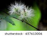 Small photo of Albizia lebbeck (L.) Benth.