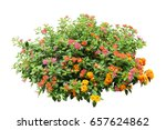 flower bush tree isolated with... | Shutterstock . vector #657624862