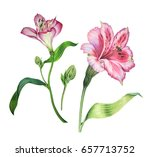 a set of alstroemeria flowers... | Shutterstock . vector #657713752