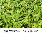 green leaves for background.... | Shutterstock . vector #657746032