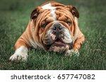 funny face of english bulldog...   Shutterstock . vector #657747082