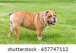 english bulldog posing outdoor...   Shutterstock . vector #657747112