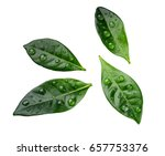 Green Citrus Leaves With Drops...