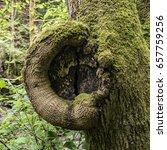 tree knot   Shutterstock . vector #657759256