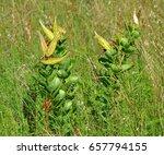Antelope Horn Milkweed Pods