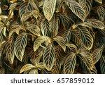 tropical foliage plant digital... | Shutterstock . vector #657859012