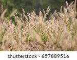 kans grass | Shutterstock . vector #657889516