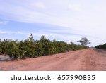 Dirt Road Between Orange Trees...