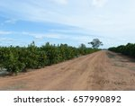 Rows Of Young Orange Trees In A ...