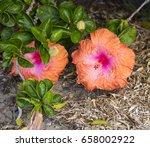 orange suffused with carmine...   Shutterstock . vector #658002922