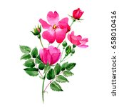 wildflower rose flower in a... | Shutterstock . vector #658010416