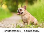 close up portrait of a french... | Shutterstock . vector #658065082