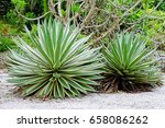 Small photo of Agave angustifolia plant also known as Marginata bush in a botanical garden.