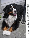 a lovely bernese mountain dog... | Shutterstock . vector #658137082