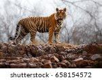 tiger in the nature habitat.... | Shutterstock . vector #658154572