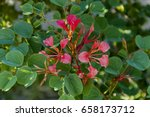 Small photo of Orchid tree, African plume (bauhinia galpinii), Royal Natal National Park Drakensberg, South Africa
