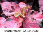 Small photo of red-leafed shrub (Acalypha wilkesiana)