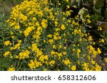 Small photo of Bright yellow flowers of Alyssum montanum in spring