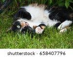 A Tortoiseshell Cat Rolling...
