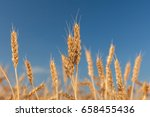 Small photo of ripened gold cones of wheat on blue sky background, closeup. harvest, agriculture, agronomics, food, production, eco concept. empty space for the text.