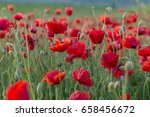 flowers red poppies blossom on...