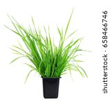 Green Grass In Pot Isolated On...