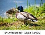 a male duck stands on the... | Shutterstock . vector #658543402