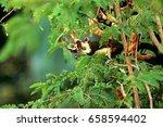 squirrel on the tamarind | Shutterstock . vector #658594402