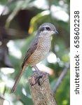 bird tiger shrike on stump  | Shutterstock . vector #658602238