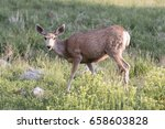 deer in the wild   colorado ... | Shutterstock . vector #658603828