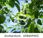 young apples growing on a apple ... | Shutterstock . vector #658609402