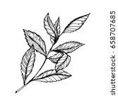 Branch Of Tea Plant Vector...