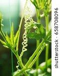 achocha cyclanthera pedata in... | Shutterstock . vector #658708096