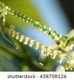 achocha cyclanthera pedata in... | Shutterstock . vector #658708126