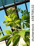 achocha cyclanthera pedata in... | Shutterstock . vector #658708132
