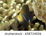 juvenile brushtail tangfish ... | Shutterstock . vector #658714036