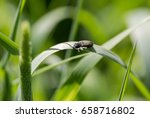 Small photo of Lined click beetle (Agriotes lineatus) stands on grass in morning meadow. Central composition, horizontal orientation with shallow deep of depth