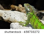 Green Cute Iguana Sitting On...