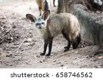 bat eared fox in the nature... | Shutterstock . vector #658746562