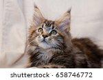 Stock photo maine coon kitten 658746772