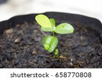 Lime Sprout Plant With Soil In...