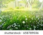 many flowering dandelions on... | Shutterstock . vector #658789036