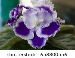 Small photo of Beautiful blooming flower of violet Rhapsody Cora, Holtkamp