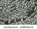 herd of sheep   sheep background