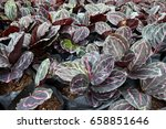 pattern from peacock plants on... | Shutterstock . vector #658851646