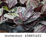 pattern from peacock plants on... | Shutterstock . vector #658851652