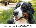 Bernese Mountain Dog  On The...
