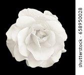 tender white rose flower macro... | Shutterstock . vector #658950028